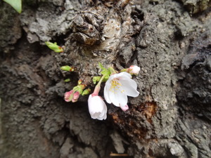 20130318-桜2