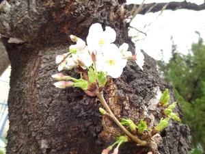 20130318-桜4